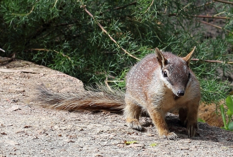 """Please, go on"" says Public Holiday Numbat [unchanged via quollism on flickr under CC]"