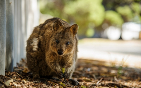 Quokka copy 2
