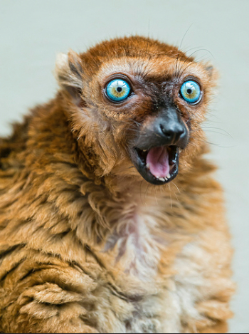 Yes Sclater's lemur, that's 16 monitoring values to keep track of. [via user Tambako the Jaguar at flickr]